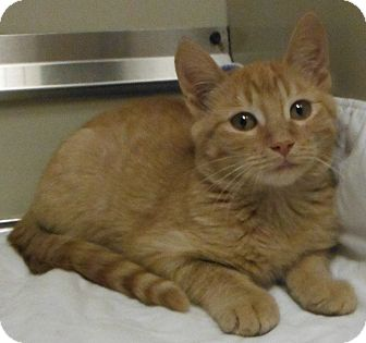 Domestic Shorthair Kitten for adoption in Cedartown, Georgia - 32158761
