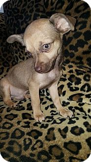 Chihuahua Mix Puppy for adoption in Valencia, California - Spark