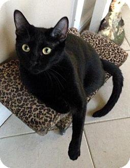 Siamese Cat for adoption in Alvin, Texas - Lexie
