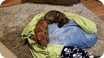 Dachshund Mix Puppy for adoption in Bardonia, New York - Bonnie and Claire