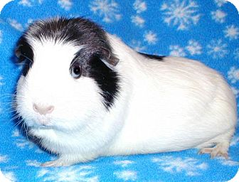 Guinea Pig for adoption in Highland, Indiana - Bella