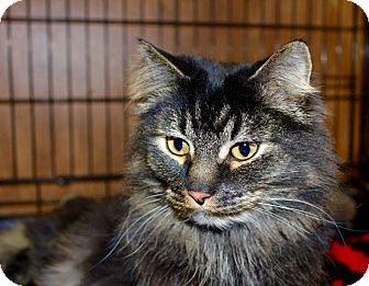 Maine Coon Cat for adoption in Smithers, British Columbia - Bratsky