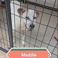 Blue Heeler/Labrador Retriever Mix Dog for adoption in Marianna, Florida - Maddie