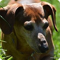 Adopt A Pet :: Buddy, dapple senior, $200 fee - Spokane, WA