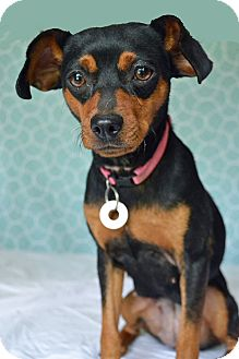 Miniature Pinscher/Beagle Mix Dog for adoption in Hagerstown, Maryland - Lilah