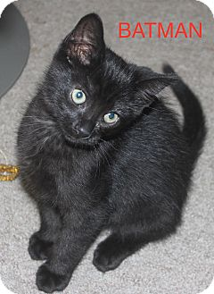 Domestic Shorthair Kitten for adoption in detroit, Michigan - BATMAN