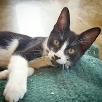 Domestic Shorthair/Domestic Shorthair Mix Cat for adoption in Fredericksburg, Texas - Matteo