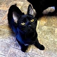 Adopt A Pet :: Kitten 15613 - Parlier, CA