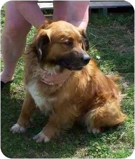 Shepherd (Unknown Type) Mix Dog for adoption in Lexington, Missouri - Rusty