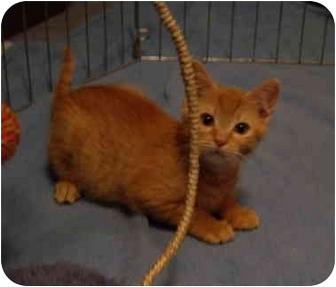 Domestic Shorthair Kitten for adoption in Saanichton, British Columbia - Tigger