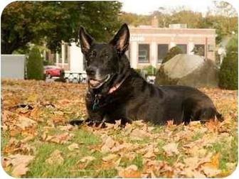 German Shepherd Dog Dog for adoption in Wayland, Massachusetts - Angel