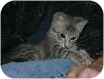 Domestic Shorthair Kitten for adoption in Marietta, Georgia - Scarlett