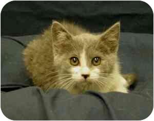 Domestic Shorthair Kitten for adoption in Sacramento, California - Simon