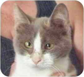Domestic Shorthair Cat for adoption in Panora, Iowa - Bubbles