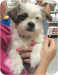 Terrier (Unknown Type, Small) Mix Dog for adoption in Schertz, Texas - Sweetie