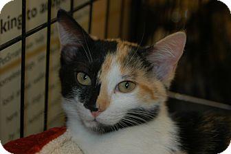 Calico Kitten for adoption in Houston, Texas - Callie