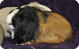 Guinea Pig for adoption in Lewisville, Texas - Yuma