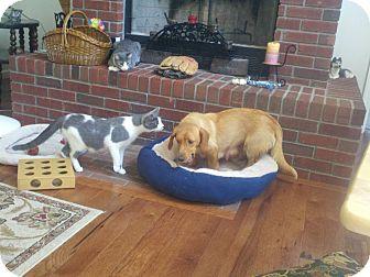 Golden Retriever/Basset Hound Mix Dog for adoption in Easton, Illinois - Penny