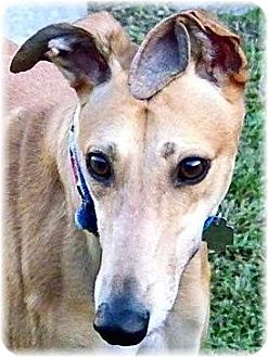 Greyhound Mix Dog for adoption in Harrisburg, Pennsylvania - Claire