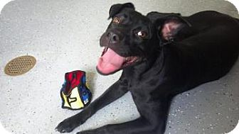 Labrador Retriever/American Pit Bull Terrier Mix Dog for adoption in Gainesville, Florida - Sheri