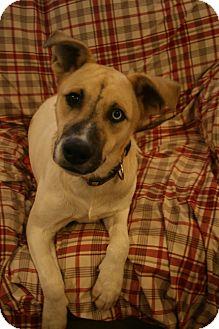 Anatolian Shepherd/Husky Mix Dog for adoption in Wytheville, Virginia - Uno Blue