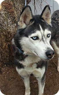 Siberian Husky Dog for adoption in Apple valley, California - Celine