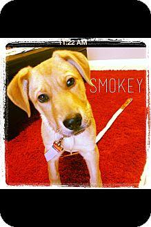 Labrador Retriever/Shepherd (Unknown Type) Mix Puppy for adoption in Cranford, New Jersey - Smokey-ADOPTED