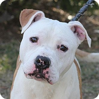 American Bulldog/Pit Bull Terrier Mix Dog for adoption in Springfield, Illinois - Rex