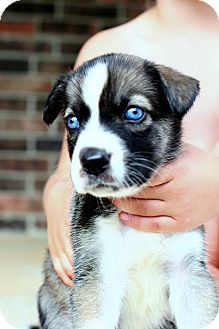 Husky Mix Puppy for adoption in Somers, Connecticut - Violet