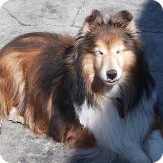 Sheltie, Shetland Sheepdog Dog for adoption in Abingdon, Maryland - Sophie