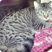 Domestic Shorthair Cat for adoption in Miami, Florida - Luigi