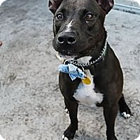 Adopt A Pet :: Gracie - Miami, FL