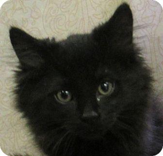 Domestic Longhair Kitten for adoption in Lloydminster, Alberta - Kermit