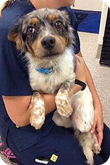 Australian Shepherd/Spaniel (Unknown Type) Mix Dog for adoption in Gainesville, Florida - Sebastian