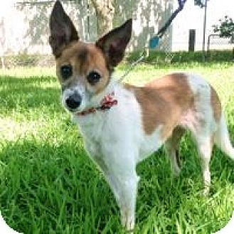 Fox Terrier (Smooth)/Whippet Mix Dog for adoption in San Leon, Texas - Opal