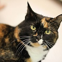 Domestic Shorthair Cat for adoption in House Springs, Missouri - Sasha