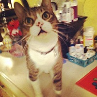 Domestic Shorthair Cat for adoption in House Springs, Missouri - Christopher Robin