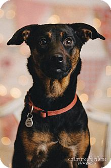 Rottweiler/Australian Cattle Dog Mix Dog for adoption in Portland, Oregon - Curly