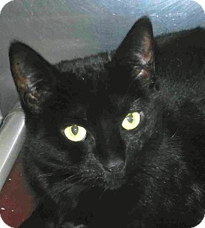 Domestic Shorthair Cat for adoption in Tinton Falls, New Jersey - Hope