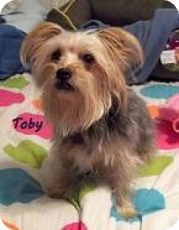 Yorkie, Yorkshire Terrier/Maltese Mix Dog for adoption in Mississauga, Ontario - Toby