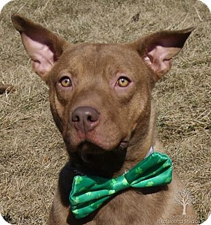 Labrador Retriever/Chesapeake Bay Retriever Mix Puppy for adoption in Dundee, Michigan - Rojo