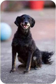 Cocker Spaniel Mix Dog for adoption in Portland, Oregon - Lily