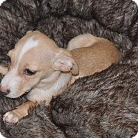 Adopt A Pet :: Pie - Tumwater, WA