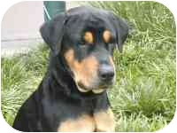 Rottweiler Dog for adoption in Folsom, Louisiana - Moe