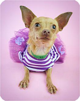 Chihuahua/Miniature Pinscher Mix Dog for adoption in Phoenix, Arizona - Maisy
