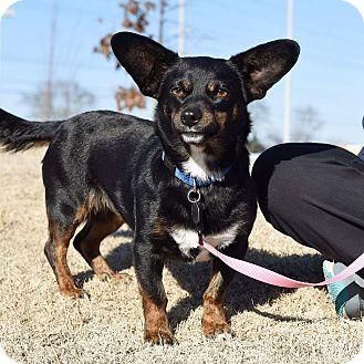 Corgi Mix Dog for adoption in Homewood, Alabama - Libby