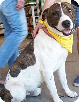 Cattle Dog/American Staffordshire Terrier Mix Dog for adoption in Castro Valley, California - Tonka