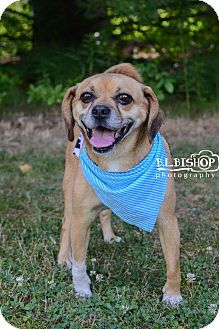 Pug/Beagle Mix Dog for adoption in Mansfield, Ohio - Allie