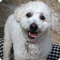 Adopt A Pet :: Spangles - Norwalk, CT