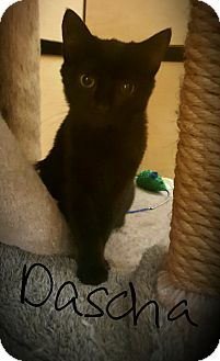 Domestic Shorthair Cat for adoption in Gainesville, Virginia - Dascha